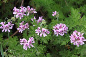 20120514ハーブ花ゼラニウム