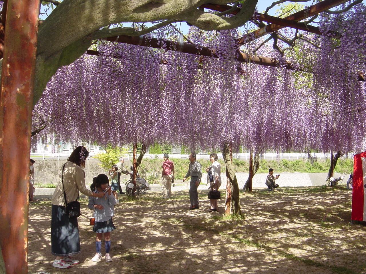 20090210 137以下藤の花
